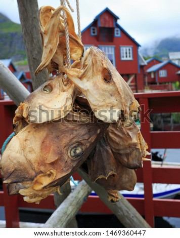 Drying stock fish cod in Å village with traditional red rorbu houses and fjord on the background in summer, Lofoten Islands, Norway