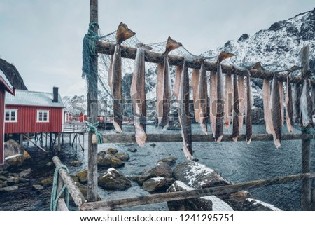 Drying stockfish cod in Nusfjord authentic traditional fishing village with traditional red rorbu houses in winter in Norwegian fjord. Lofoten islands, Norway