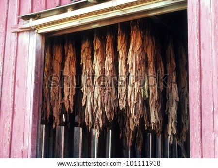 drying tobacco leaves in barn