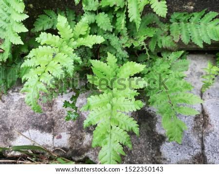 Dryopteris, wood ferns, male ferns, buckler ferns #1522350143