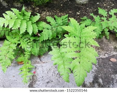 Dryopteris, wood ferns, male ferns, buckler ferns #1522350146