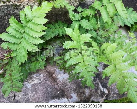 Dryopteris, wood ferns, male ferns, buckler ferns #1522350158
