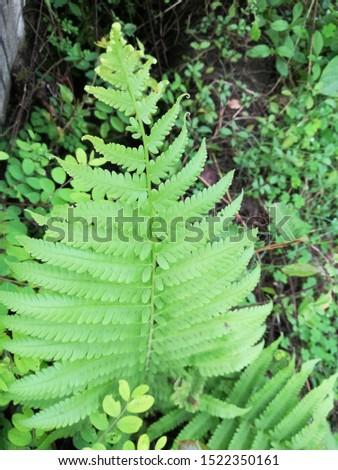 Dryopteris, wood ferns, male ferns, buckler ferns #1522350161