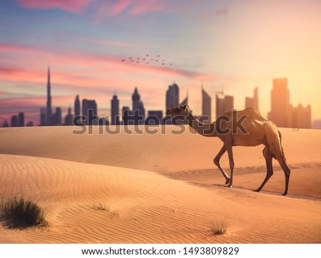 Dubai travel concept Collecting between the modern and tradtional UAE. travel concept, Camel crossing the desert with dubai skyline in sunset time. Foto stock ©