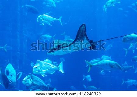 DUBAI, UAE - SEPTEMBER 30: Large aquarium in Hotel Atlantis (1,539 spacious guest rooms including 166 suites) on man-made island of Palm Jumeirah at September 30, 2012 in Dubai, United Arab Emirates.