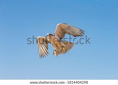 Dubai, United Arab Emirates, 18th November 2016: falconer with his falcon in a deser Zdjęcia stock ©