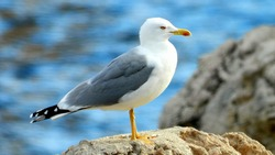 Dubrovnik Seagull standing on the rock