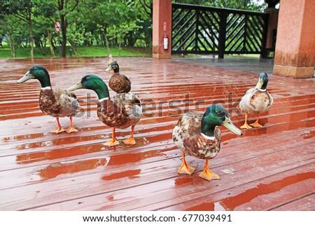 duck #677039491