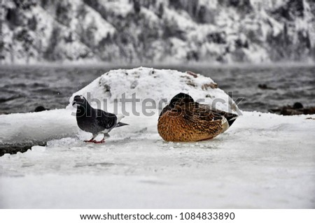 duck and dove sleeping on lake #1084833890