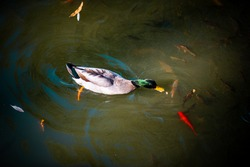 Duck and fishes in a lake
