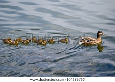 Duck and ten ducklings