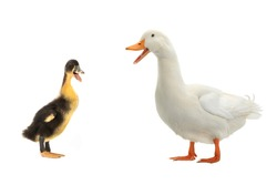 Duck and  young ducks on a white background
