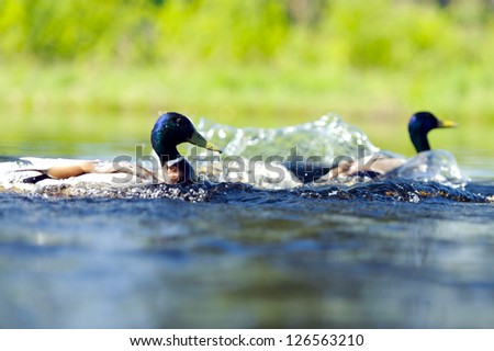 Duck at the lake on a sunny summer day - stock photo
