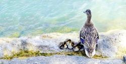Duck Bird and Ducklings at lake. Mallard duck family (anas platyrhynchos) resting on rock.