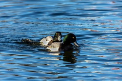 Duck. Bird. The lesser scaup is small American diving duck. Ducks  on the river. Ducks during migrating to north