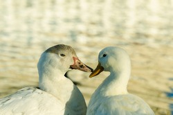 Duck couple in friendly disposition