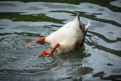 Duck Diving Upside Down, With Butt and Tail in Air