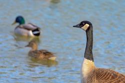 Duck, Duck, Goose Canadian goose watching as two mallards swim away