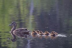 Duck family at Lake Yushino