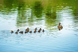 Duck family with many small ducklings swimming on the river