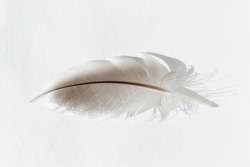 Duck Feather. One feather of Mallard duck isolated. Bird feather on white background