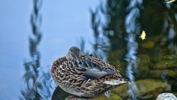 duck (female ) sleeps with its beak in the feathers, the shore of the pond.