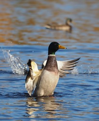 duck flaps its wings