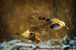 Duck fly in winter. Two ducks is flying over the river. Anas platyrhynchos