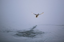 Duck flying away from pond lake