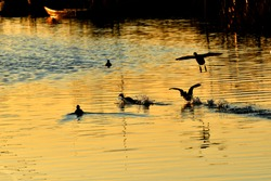 Duck flying away from the orange swamp at dusk