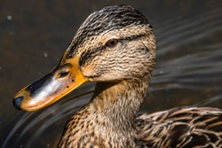 duck front up close with majestic beek