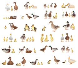 duck history on a white background