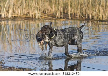 Duck Hunting Dog #518312452