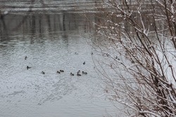 duck hunting, ducks swimming in the river, a large cluster of wild ducks, winter duck hunting,