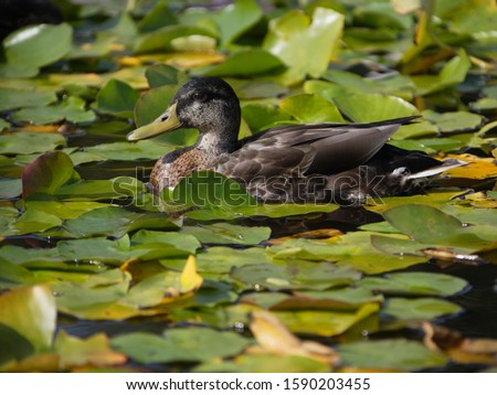 Duck in a lake with waterlilies
