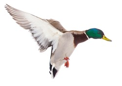 Duck in flight isolated on white background .