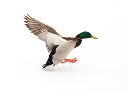 Duck in flight on a white background