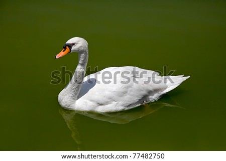 duck in the clear blue water, spray water - stock photo
