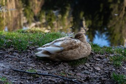 Duck in wild nature near the lake