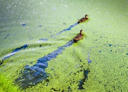 Duck into the overgrown green duckweed pond