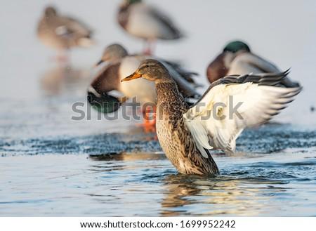 Duck Krzyżówka photographed on Lake Pogoria in Dąbrowa Górnicza Polska Zdjęcia stock ©