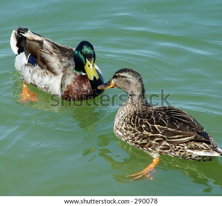 Duck Love - male and female mallard in spring