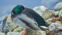 duck (malard) sleeps with its beak in the feathers, the shore of the pond.