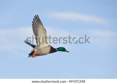Duck (male) in flight against the sky