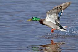 Duck - Mallard (Male)