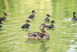 duck mama with baby birds