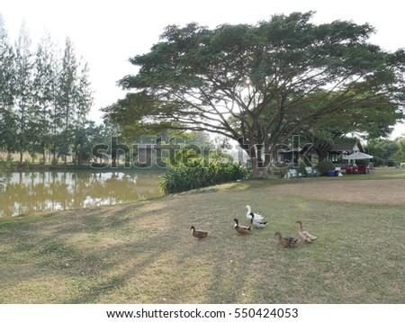 Duck of Garden #550424053