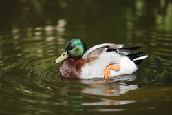 Duck on the water in Action