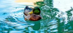 Duck  on the water in park San Diego,California.