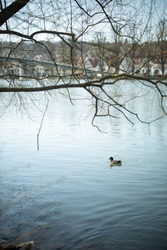 Duck on water scene. Duck swimming on the river